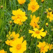 Coreopsis lanceolata - Mayfield Giants - 100 seeds